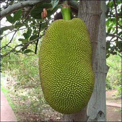 Quel est le nom de cet énorme fruit ?