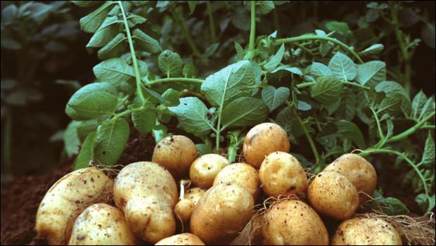 Comment doivent être les fleurs de la pomme de terre quand il est temps de commencer la récolte ?