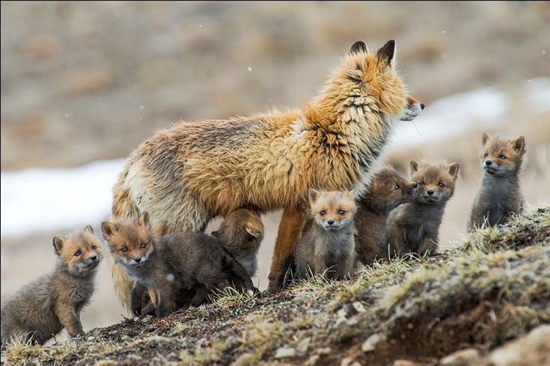 A quelle période de l'année naissent tous les renardeaux ?