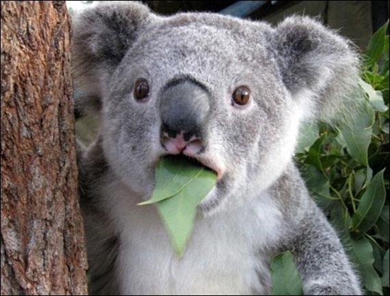 Les koalas ne boivent pratiquement pas d'eau.