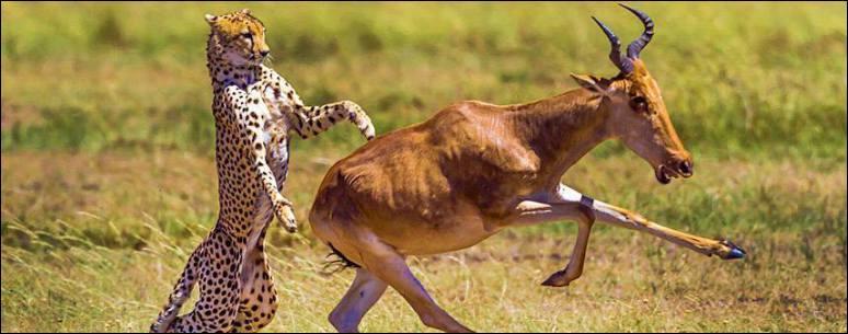 Les guépards peuvent atteindre une vitesse de 150 km/h.