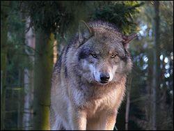 Un loup est un canidé sauvage qui ne peut pas être domestiqué.