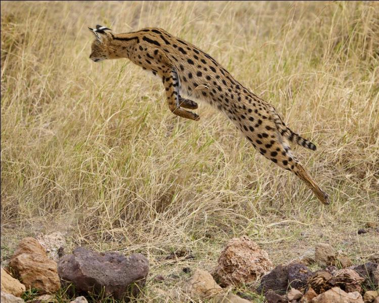 Mais le serval, qui est lui aussi un animal sauvage, peut être domestiqué et est vendu très cher.