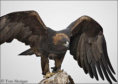 L'œil de l'aigle royal adulte est brun foncé et possède une vue vingt fois plus perçante que celle de l'humain.