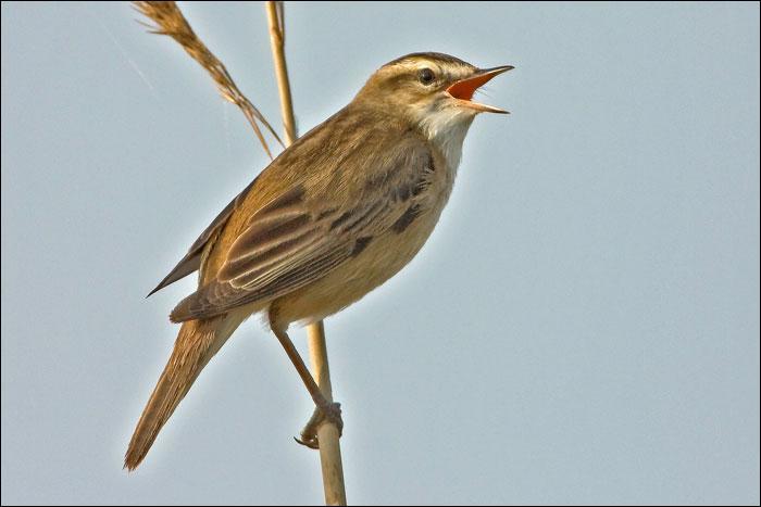Quizz les passereaux paludicoles quiz oiseaux for Oiseau commun