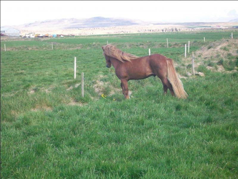 Laquelle de ces affirmations concernant le cheval islandais est fausse ?