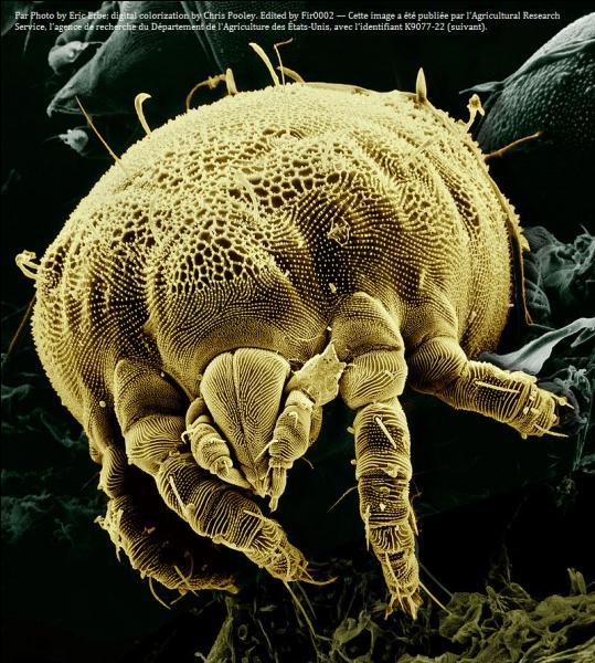 Les acariens sont-ils tous microscopiques ?
