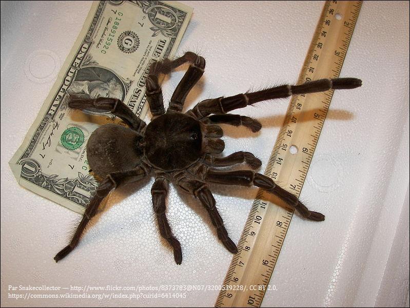 L'araignée Goliath mesure 30 cm. Elle, à l'apéro, son truc c'est les serpents, les petits mammifères et surtout les oiseaux. Peut-on trouver cette bonne vivante en France ?