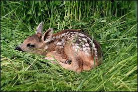 Quel est le nom du bébé du chevreuil ?