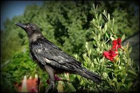 Quel est le nom du bébé du corbeau ?