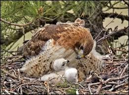 Quel est le nom du bébé de l'aigle ?