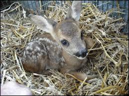 Quel est le nom du bébé du daim ?