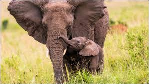 Quel est le nom du bébé de l'éléphant ?