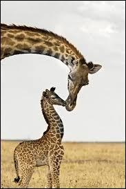 Quel est le nom du bébé de la girafe ?