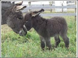 Quel est le nom du bébé de l'âne ?