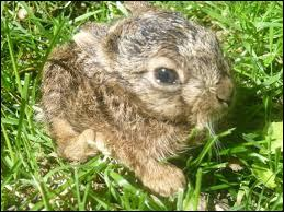 Quel est le nom du bébé du lièvre ?