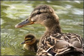 Quel est le nom du bébé du canard ?