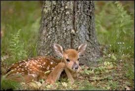Quel est le nom du bébé du cerf ?
