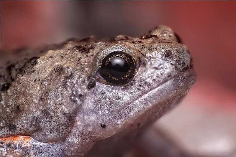 Au Japon, comment sert-on le sashimi de grenouille ?