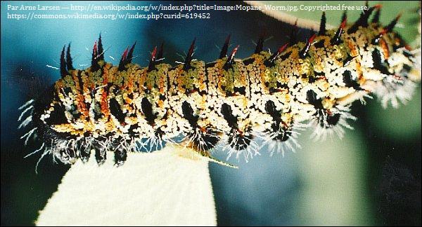 Le ver mopane est-il consommé (vous vous doutez bien que si je pose la question, c'est qu'un truc bien dégueulasse se prépare) ?
