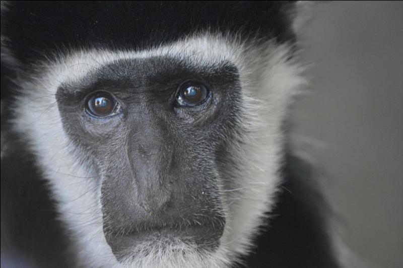 Dans certains pays d'Asie, on peut manger de la cervelle de singe. Manger du singe n'étant pas assez immoral, l'animal est traditionnellement servi vivant, le crâne ouvert, attaché et...