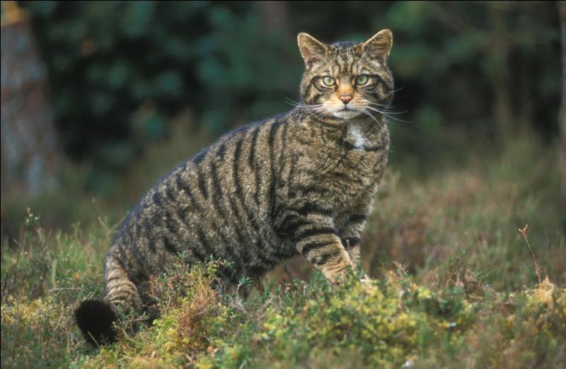 Un chat haret est un chat sauvage, vrai ou faux ?
