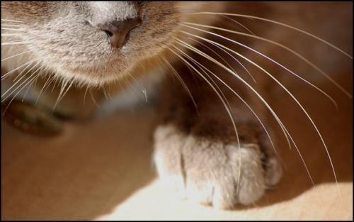 Les chats n'ont sur le museau que des vibrisses/fibrisses/tibrisses. Vrai ou faux ? (Je n'allais pas vous donner la réponse quand même ! )