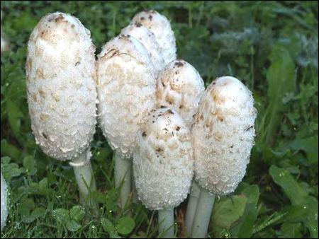 Reconnais-tu cet excellent champignon ?