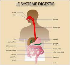 Complétez. (cf.Q1) « De façon chimique, cette opération se fait à l'aide de la bouche (salive), l'estomac (suc ...), du pancréas (suc pancréatique), du foie (....) et de l'intestin (suc intestinal).