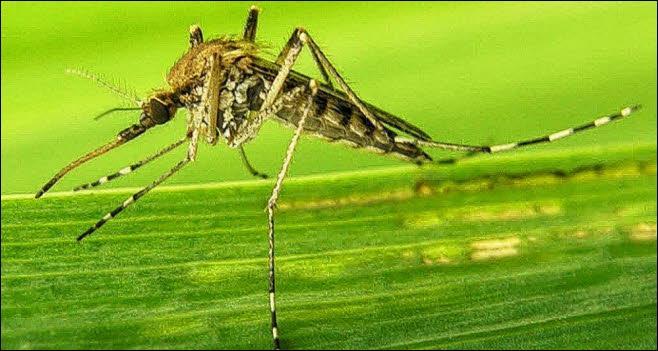 Maladie transmise par la piqûre du moustique de la fièvre jaune et par celle du moustique tigre :