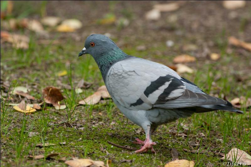Pigeon sauvage ou domestique gris bleuté :