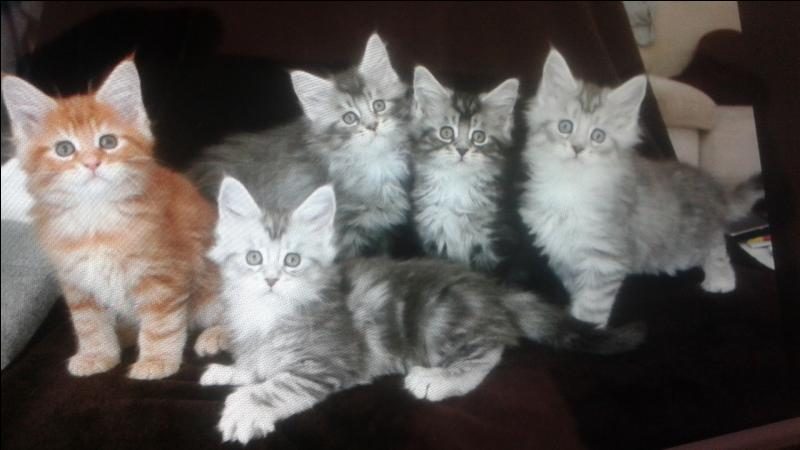 Combien de chatons une chatte peut-elle avoir en une portée ?