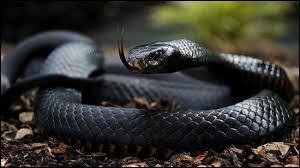 Considéré comme le serpent terrestre le plus rapide parmi les espèces recensées, il apprécie les zones boisées ou rocheuses :