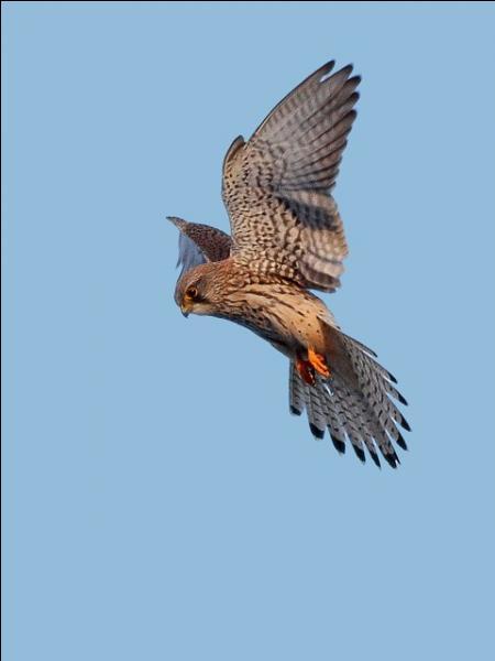 Dans les champs, il arrive assez régulièrement de voir un rapace voler sur place. Mais comment appelle-t-on ce vol ?