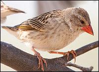 Cet oiseau est le quéléa (ou travailleur) à bec rouge. Quel est son record ?