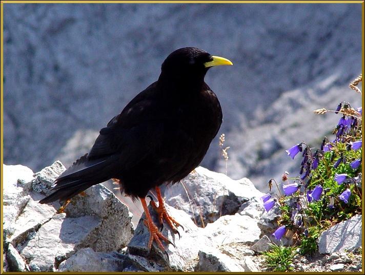 Quizz pie gri ches et corvid s quiz oiseaux for Oiseau noir bec jaune