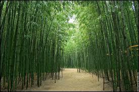Comment appelle-t-on une forêt de bambous ?