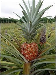Parmi ces fruits, lequel ne pousse pas sur un arbre ?