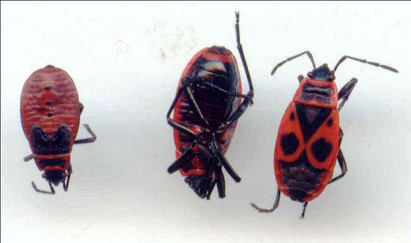 Petits insectes rouges et noirs, ce sont les...
