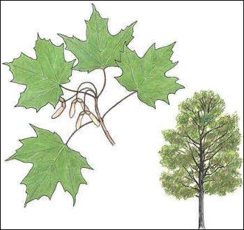 Quizz le mont royal quiz nature cologie - Comment s appelle l arbre du kaki ...