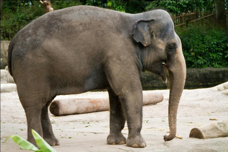 D'après la photo, il s'agit d'un éléphant d'Asie.