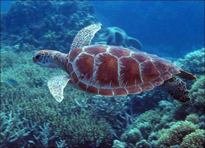 Les tortues marines ne vivent que dans les eaux froides.
