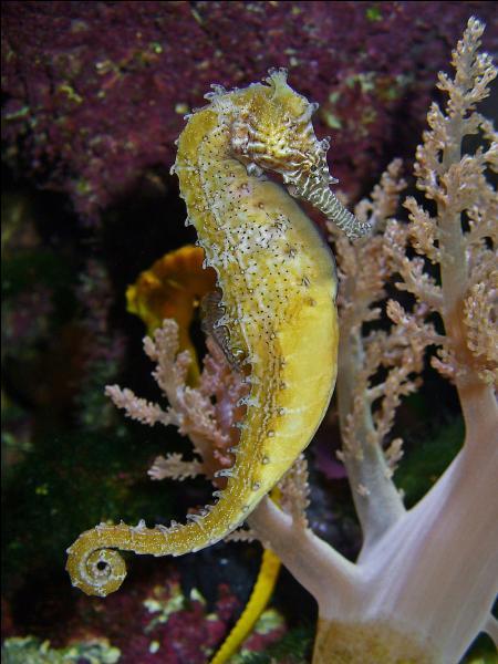 L'hippocampe est un poisson osseux.