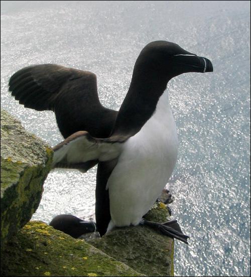 Le pingouin torda ou petit pingouin vit dans l'hémisphère Sud.