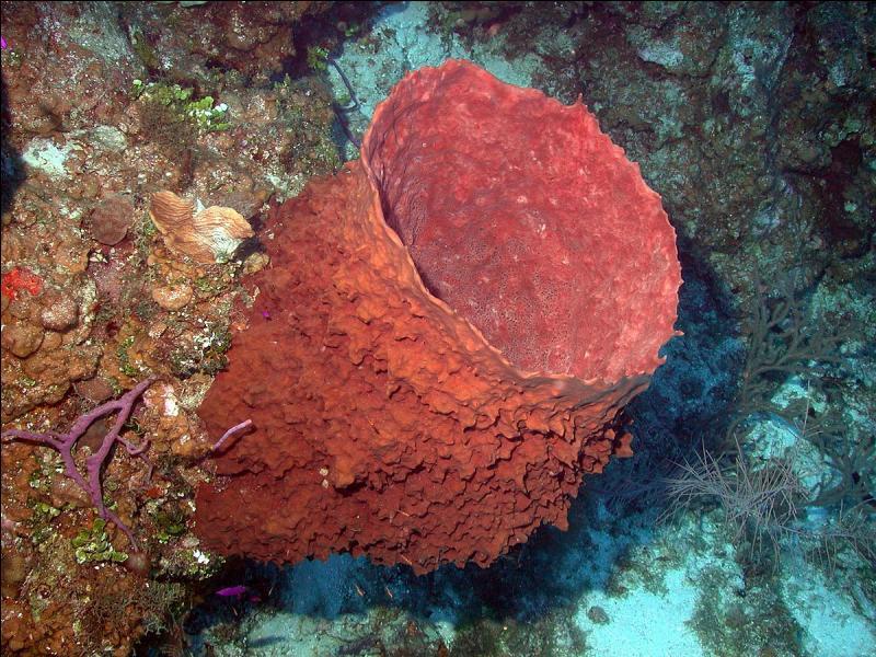 Cet animal rouge, appelé baril de rhum, est la plus grosse éponge des Caraïbes.