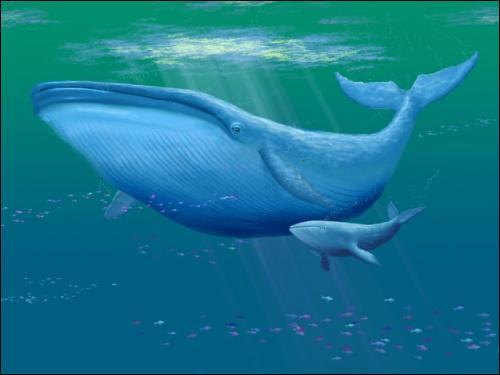 La baleine bleue adulte est le plus gros animal vivant sur la planète Terre.