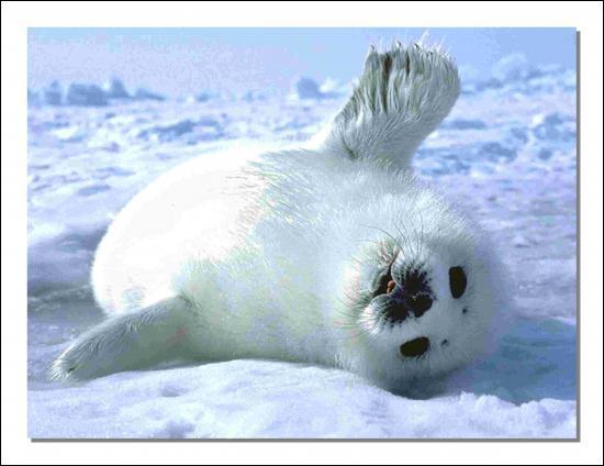 """Le petit du phoque du Groenland est nommé """"blanchon""""."""