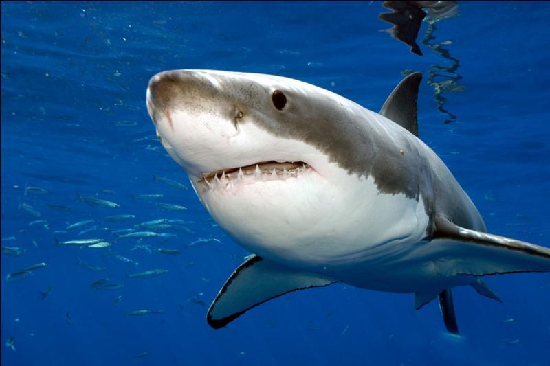 Le grand requin blanc est l'un des plus grands poissons prédateurs vivant dans les océans.