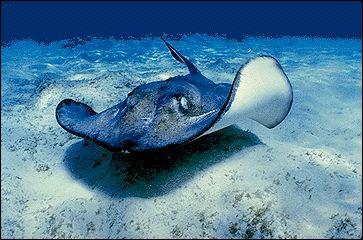 La raie appartient au groupe des poissons osseux.