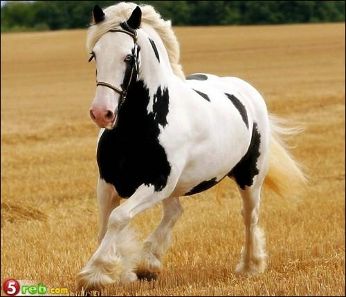 Comment appelle-t-on la robe de ce cheval ?